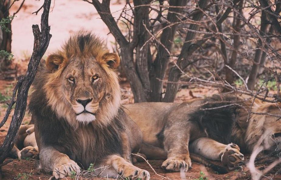 O lwie w reggae, Pszczynie, Narnii i Biblii